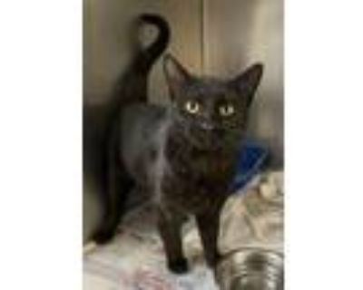 Adopt Gary a Domestic Short Hair