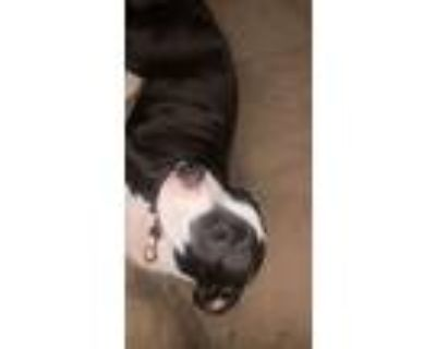 Adopt Zoey a Black - with White American Pit Bull Terrier / American Pit Bull