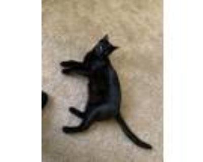 Adopt Coal a All Black Domestic Shorthair / Mixed (short coat) cat in