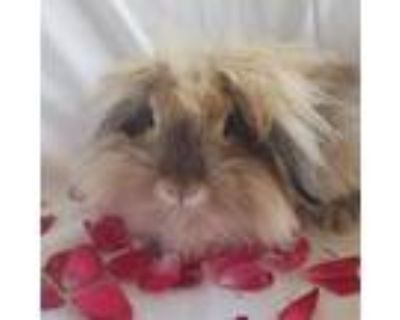 Adopt Lopunny a American Fuzzy Lop / Mixed rabbit in Evansville, IN (31328231)