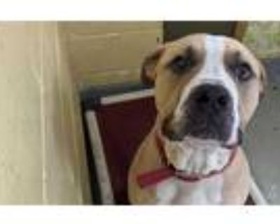Adopt DOODLE a Brown/Chocolate - with White Mastiff / Mixed dog in Tulsa