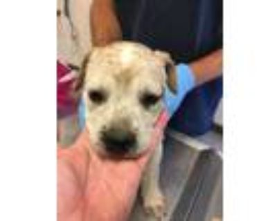 Adopt 48035152 a White American Pit Bull Terrier / Australian Cattle Dog / Mixed