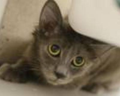 Adopt PUNKIN HEAD a Gray or Blue Domestic Mediumhair / Mixed (medium coat) cat