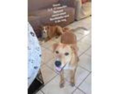 Adopt Dana a Labrador Retriever