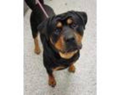 Adopt LL Drool J a Black Rottweiler / Mixed dog in Kansas City, MO (31678906)