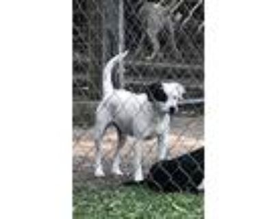 Adopt Wilma a White - with Black Bull Terrier / Mixed dog in Moss Point