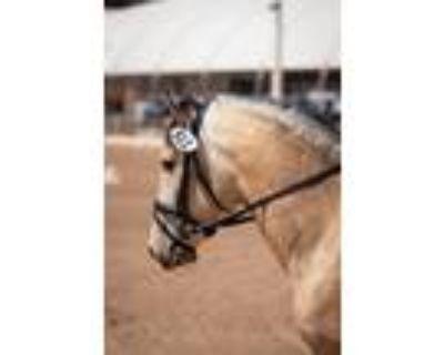 Beautiful Buckskin Lusitano Colt started under saddle