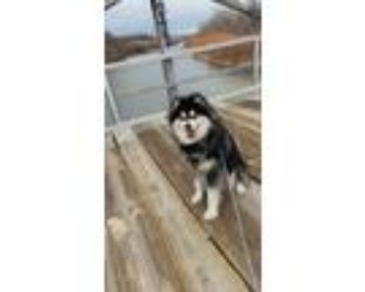 Adopt BUC a Black - with White Alaskan Malamute / Mixed dog in Los Lunas