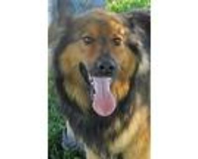 Adopt Lad a Tricolor (Tan/Brown & Black & White) Collie / Mixed dog in