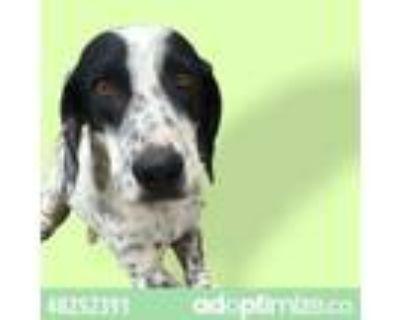 Adopt 48252391 a Australian Cattle Dog / Blue Heeler, Mixed Breed