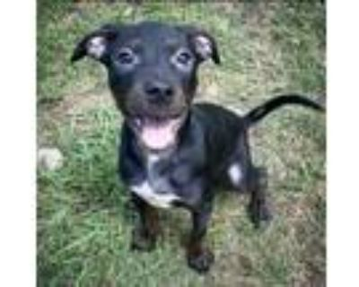 Adopt Maggie Pierce a Labrador Retriever
