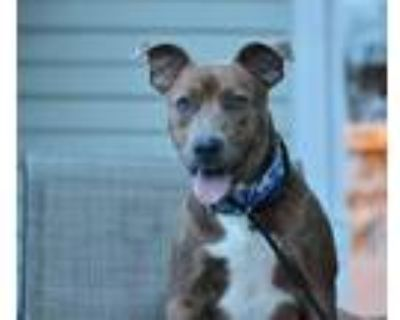 Adopt Bria a American Pit Bull Terrier / Mixed dog in Germantown, OH (31879668)