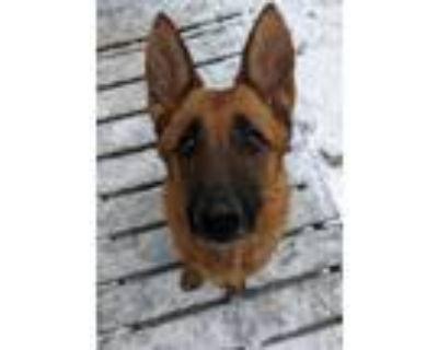 Adopt Layla a German Shepherd Dog