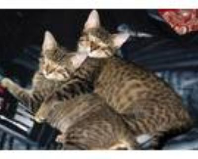 """Adopt Luke and Leia """" Bonded Bengal Bottle Babies """" a Bengal, Tabby"""