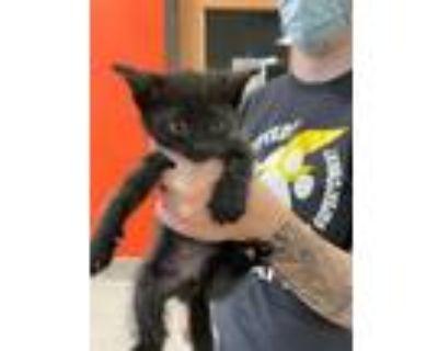 Adopt DEEN a All Black Domestic Shorthair / Mixed (short coat) cat in