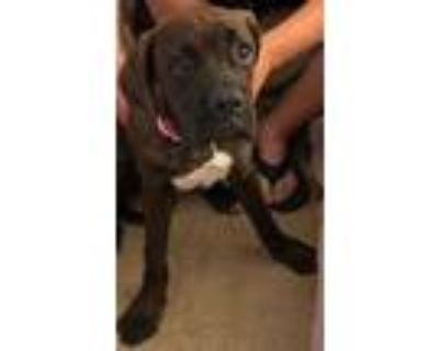 Adopt Teeny a Brindle Cane Corso / Boxer / Mixed dog in Aurora, CO (31904838)