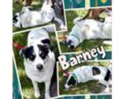 Adopt Barney a White - with Tan, Yellow or Fawn Labrador Retriever / Shepherd