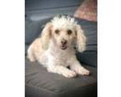 Adopt Snowball a Poodle, Terrier