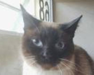 Adopt Kat a Brown or Chocolate Siamese / Domestic Shorthair / Mixed cat in