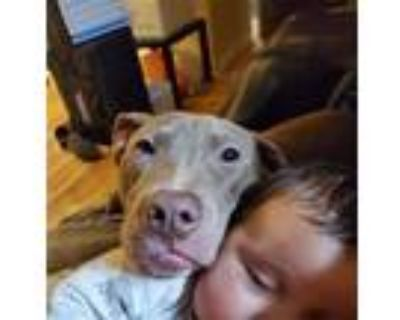 Adopt Bear a Tan/Yellow/Fawn American Pit Bull Terrier / Mixed dog in
