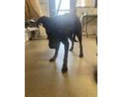 Adopt Chop a Black Labrador Retriever / Mixed dog in Fort Worth, TX (31106824)