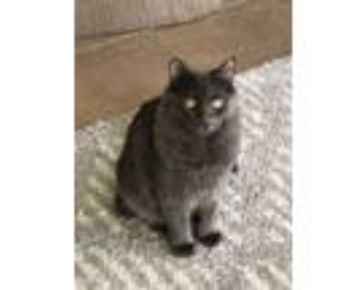 Adopt Coconut and Phoenix (BONDED PAIR!!) a Russian Blue, Domestic Long Hair