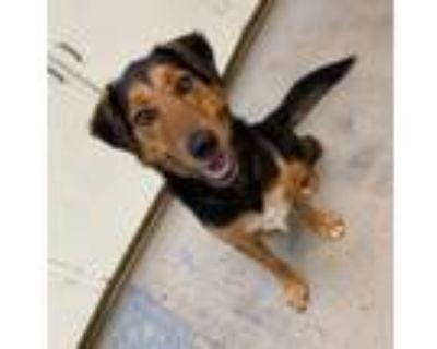 Adopt Reese a Golden Retriever, Bernese Mountain Dog