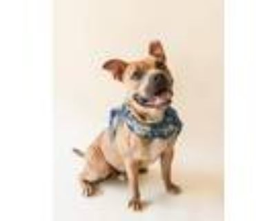 Adopt Neemo a American Staffordshire Terrier / Terrier (Unknown Type