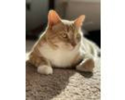 Adopt Desmond a Cream or Ivory Domestic Shorthair / Mixed (short coat) cat in