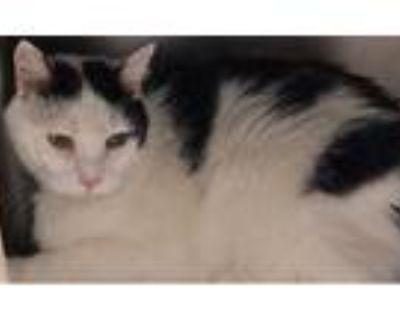 Adopt Pretty Kitty a Domestic Short Hair