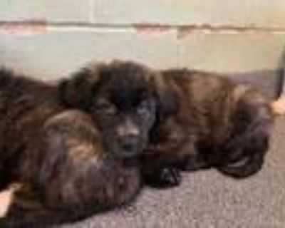 Adopt Mel a Black Great Pyrenees / Shepherd (Unknown Type) / Mixed dog in