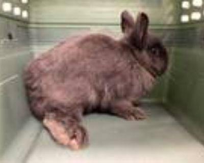 Adopt KALINA a Grey/Silver Polish / Mixed rabbit in Loveland, CO (31480976)