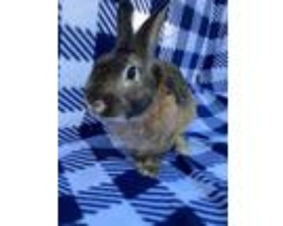 Adopt Caramello a Agouti Other/Unknown / Mixed (short coat) rabbit in Livermore