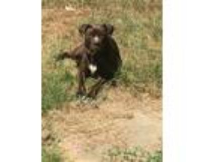 Adopt Coco a Brown/Chocolate American Staffordshire Terrier / Rat Terrier /