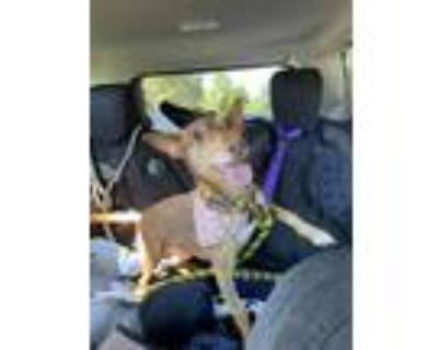 Adopt Maryann a Red/Golden/Orange/Chestnut Basenji dog in Huntington