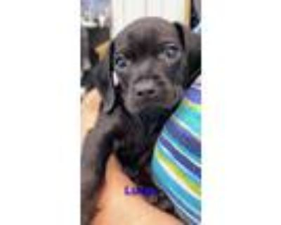 Adopt Luxor a Black Dachshund / Mixed Breed (Small) / Mixed dog in Rowland