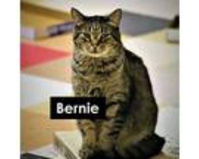 Bernie, Domestic Shorthair For Adoption In Sultan, Washington