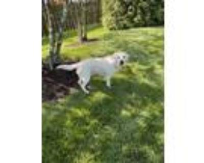 Adopt Bear a White Labrador Retriever / Mixed dog in Woodbridge, VA (31887196)