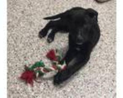 Adopt Toby Tag 47917378 a Labrador Retriever
