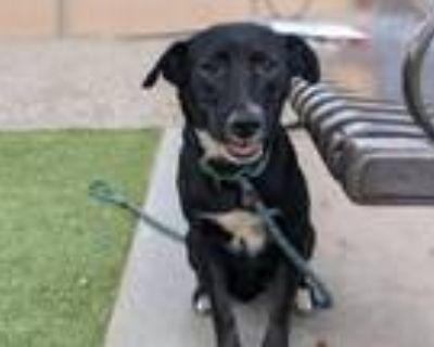 Adopt ACADIA a Labrador Retriever, Border Collie