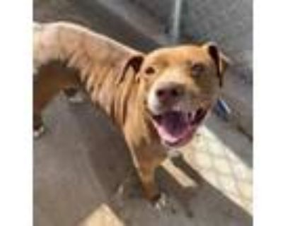 Adopt Dolly a Brown/Chocolate Pit Bull Terrier / Mixed dog in El Paso