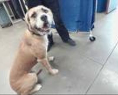 Adopt RONNIE a Brown/Chocolate - with White Wirehaired Pointing Griffon / Mixed