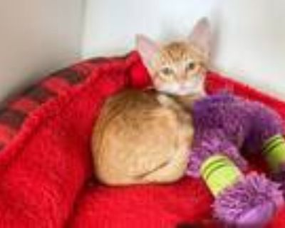 Adopt Autumn a Orange or Red Tabby Domestic Shorthair (short coat) cat in