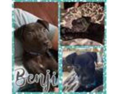 Adopt Benji a Mixed Breed