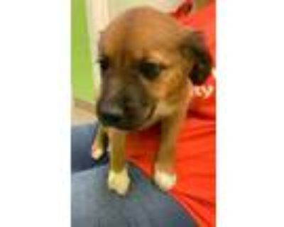 Adopt Mail Box a Tan/Yellow/Fawn Boxer / Husky / Mixed dog in Benton