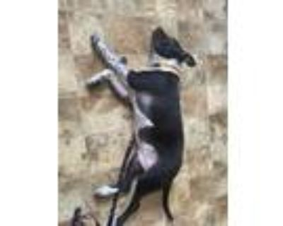 Adopt Squishy a Black - with White American Pit Bull Terrier / Mixed dog in