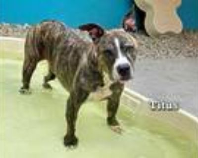 Adopt TITUS a Brindle - with White American Pit Bull Terrier / Mixed dog in Fort