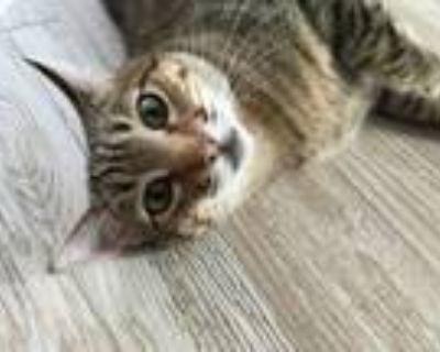 Adopt Pookister & Ellie a American Shorthair, Ocicat