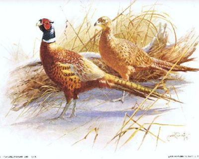 """Ring-Necked Pheasant Litho - Signed James R. Smith - 1979 - Unframed - 12"""" x 16"""""""