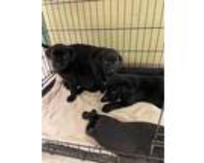 Adopt BEEFY a Black Labrador Retriever / Mixed dog in Waterford, VA (32040489)